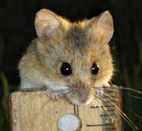 Harvest mouse. Courtesy U.S. Fish & Wildlife Service.