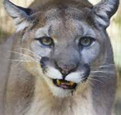 Mountain lion. Bing free use license.