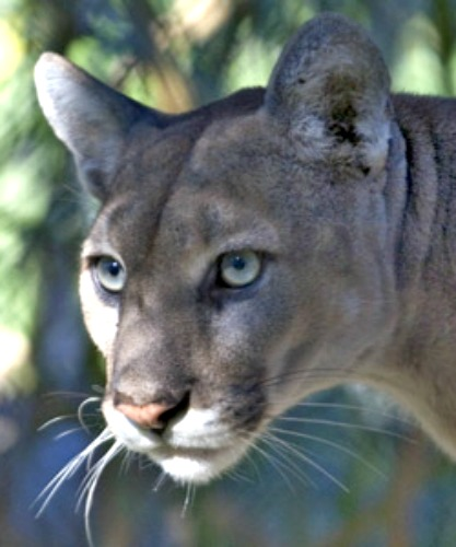 Mountain Lion. Courtesy U.S. National Park Service.