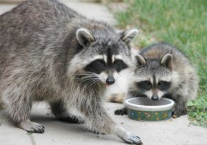 raccoon-mom-and-baby-0567