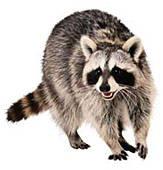 Raccoon-SiedePreis-sm