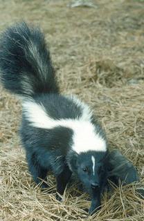 skunk2sf