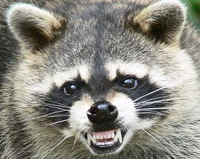 111009110345_Raccoon3 - Copy