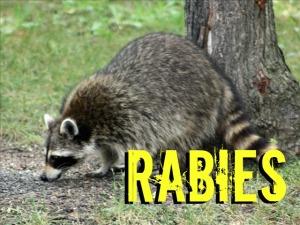 Rabid Raccoon   Raccoon Removal   Raccoon Trapping