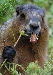 400px-RK_0808_278_Marmota_monax_groundhog_ReinhardKraaschWC