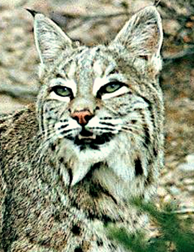 Bobcat. Courtesy U.S. Dept. of Interior, Bureau of Land Management.