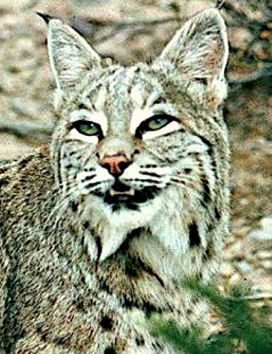 Bobcat. Courtesy U.S. Dept. of Interior, Bureau of Land Management.