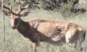 Deer infected with CWD.