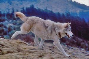 graywolfNPRphoto