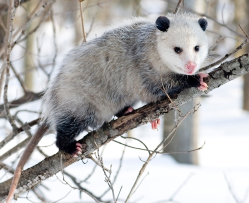 Opossum. Photo by Cody Pope. Wikimedia Commons.