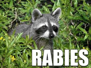 pitt-county-racoon-tests-positive-rabies