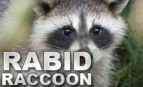 raccoonrabid113524