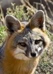 Wildlife-GrayFox