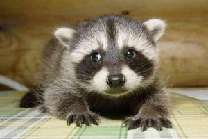 Raccoon cub.