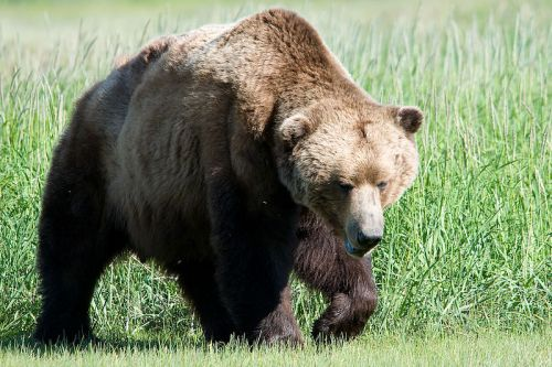 Brown bear. Photo by Marshmallow. Wikimedia Commons.