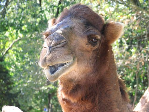 Dromedary by Trisha. Wikimedia Commons. PD.