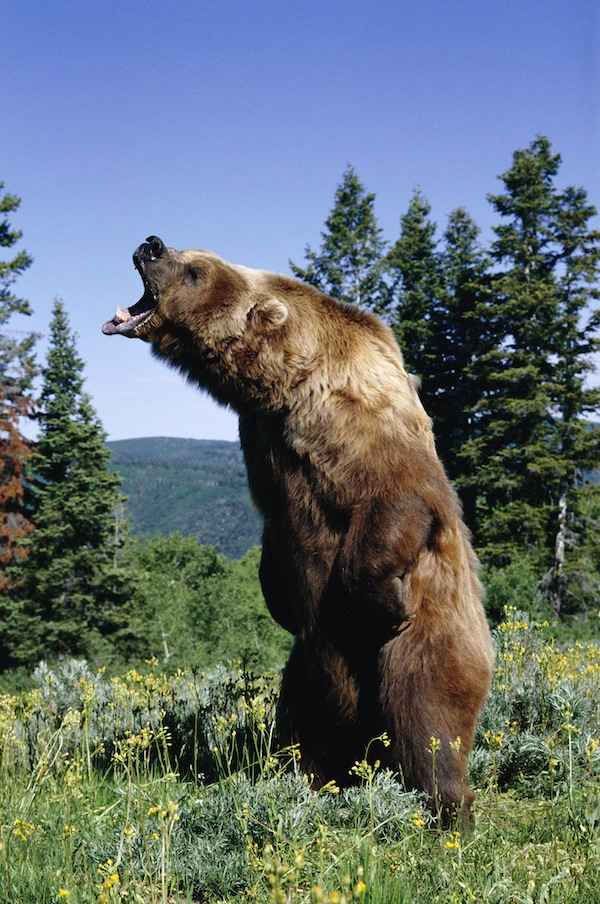 Military wife mauled by BROWN BEAR while jogging on base