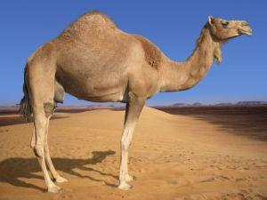 arabian camel 1