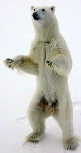 Bear-standing-Cranearctic.noss.gov-1