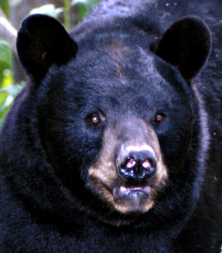 Black bear. Photo courtesy of Ohio Department of Natural Resources.