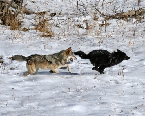 Gray wolves. Courtesy National Park Service. (Not an image of Mr & Mrs OR-7)
