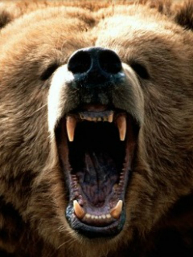 Grizzly. Bing free use license.