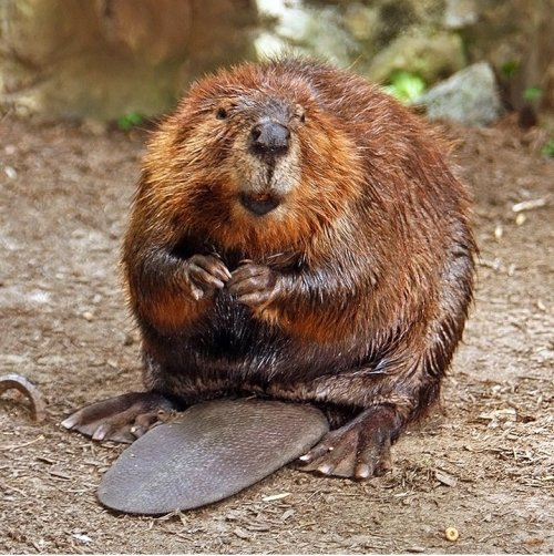 American Beaver. BING free use license.