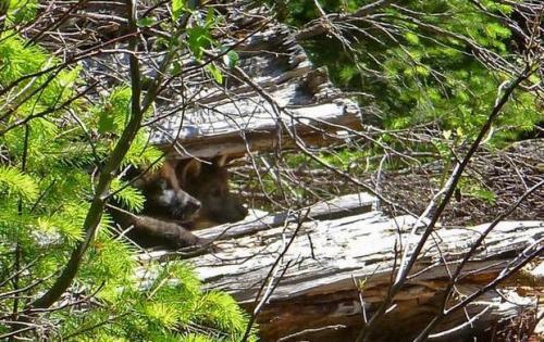 OR-7's pups. Courtesy U.S. Fish & Wildlife Service.