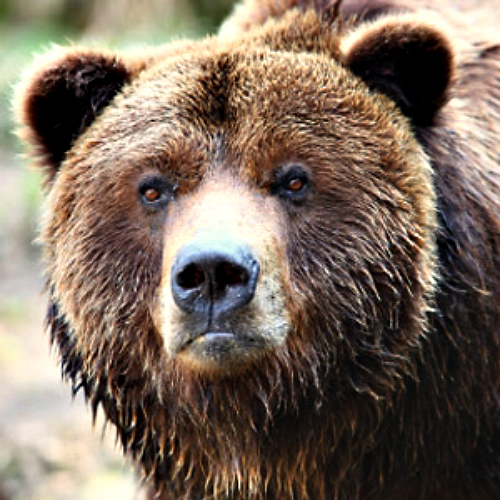 Soldier mauled by BROWN BEAR during training exercise in ALASKA ... Bear