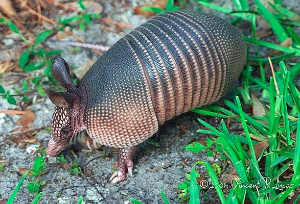 Nine-banded Armadillo. Photo by Leppyone. Wikimedia Commons.