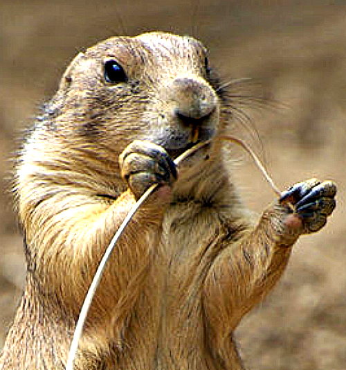 Prairie Dog. Photo by Jeff Kubina. Wikimedia Commons.