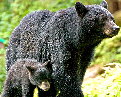 Black bear sow with cub. Bing free use license.