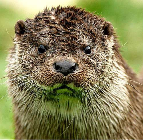 Otter. Photo by Peter Trimming. Wikimedia Commons.