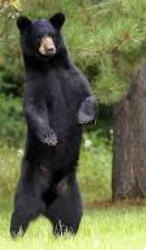 Black bear. Bing free use license.