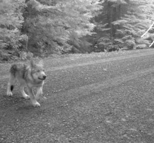 Oregon's erstwhile wandering wolf, OR-7, has at least three pups that were born in April. Photos by U.S. Fish and Wildlife Service