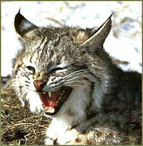 Bobcat. Courtesy WI Dept of Natural Resources.