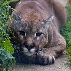 cougar2498