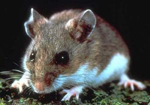 Deer mouse.