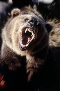 grizzlyattacking6657