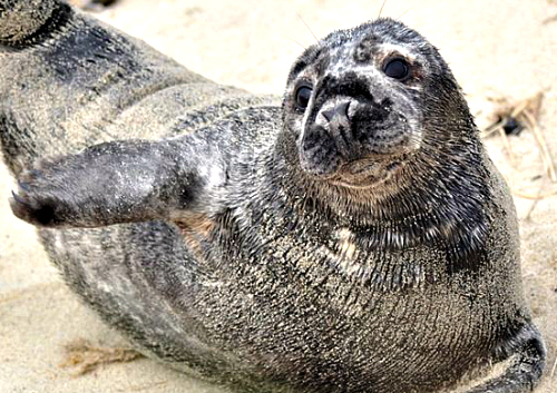 Atlantic Harbor Seal. Courtesy U.S. Fish & Wildlife.
