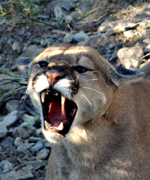 Mountain lion. Courtesy U.S. Fish & Wildlife Service.