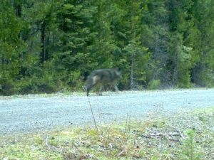 Remote camera photo of a wolf using the same area as the wolf known as OR-7. This is the first evidence that OR-7 has found another wolf in the Oregon Cascades. Photo courtesy of USFWS.