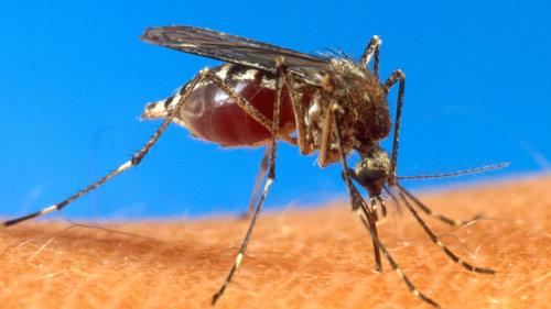 Aedes Aegypti or Yellow Fever Mosquito. Courtesy U.S. Department of Agriculture.