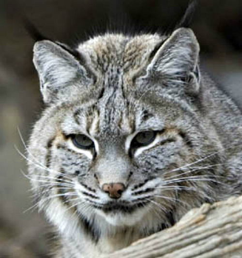 Bobcat. Courtesy National Park Service.