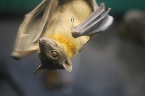 Straw colored fruit  bat. Photo by Diana Ranslam.