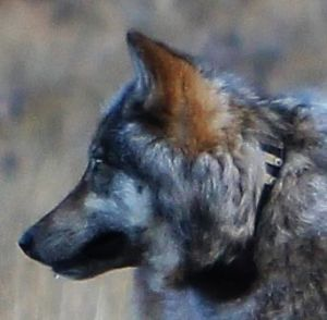 12A Canid, a wolf or wolf hybrid seen near the North Rim of the Grand Canyon. Photo taken Oct. 27, 2014. Courtesy Arizona Game and Fish Dept.