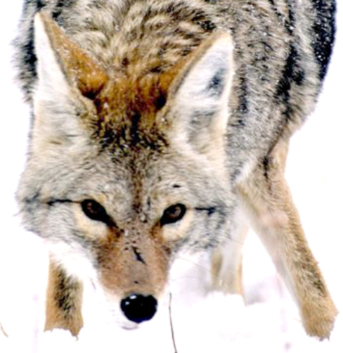 Stalking coyote. Courtesy U.S. National Park Service.