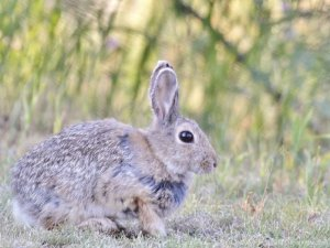 A Mountain Cottontail rabbit.
