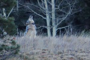 A Northern Rockies gray wolf hadn't been seen in the Grand Canyon area since the 1940s.