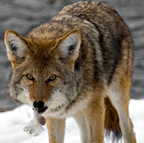 This coyote just caught dinner. Courtesy U.S. National Park Service.